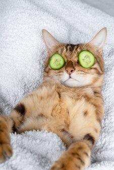 Grappige huisdier kat ontspannen in de spa. kat met een stuk komkommer voor haar ogen
