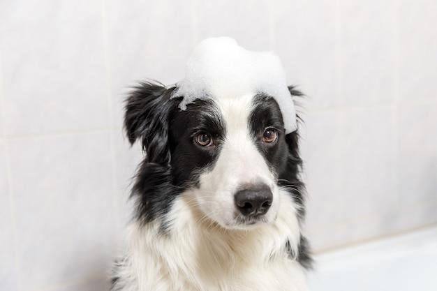 Grappige indoor portret van puppy hond border collie zitten in bad krijgt bubbelbad douchen met shampoo.