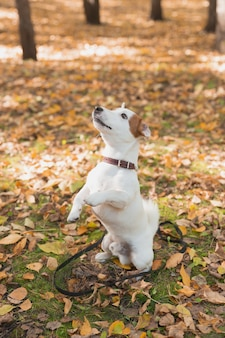 Grappige jack russell terrier hond staat op zijn achterpoten in herfstbladeren huisdier trainingsconcept