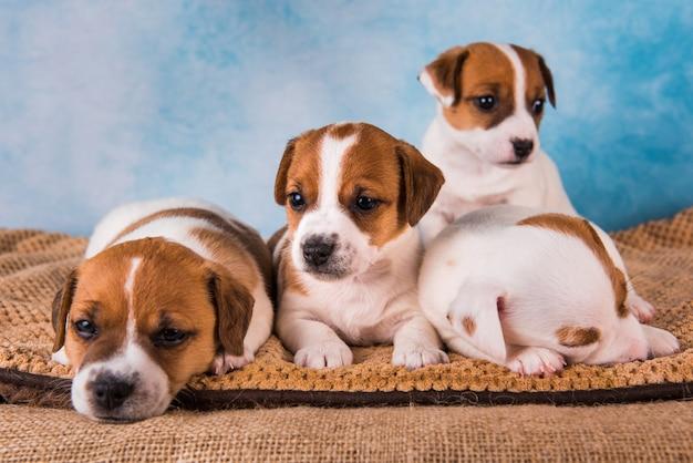 Grappige jack russell terriër-puppy's slapen