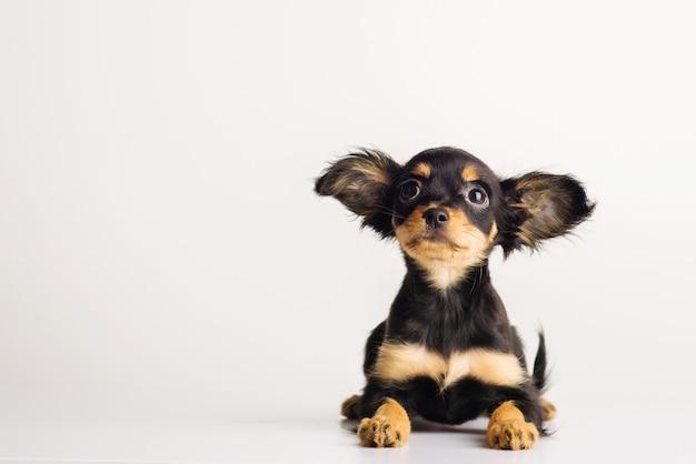 Grappige jonge pup van russische toy terriër op een witte achtergrond. - afbeelding