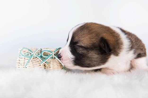 Grappige kleine pembroke welsh corgi-puppyhond met geïsoleerde babyschoenen
