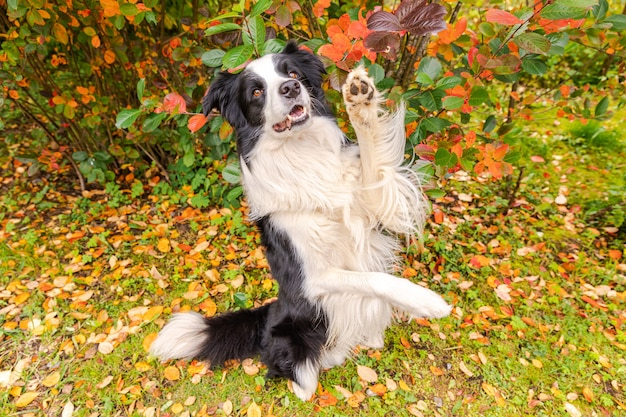 Grappige lachende puppy hondje border collie spelen springen op herfst kleurrijke gebladerte achtergrond in park ou...