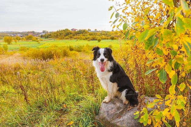 Grappige lachende puppy hondje border collie spelen zittend op steen in park buiten, droge gele herfstbladeren gebladerte achtergrond. hond op wandelen in herfstdag. hallo herfst koud weer concept.