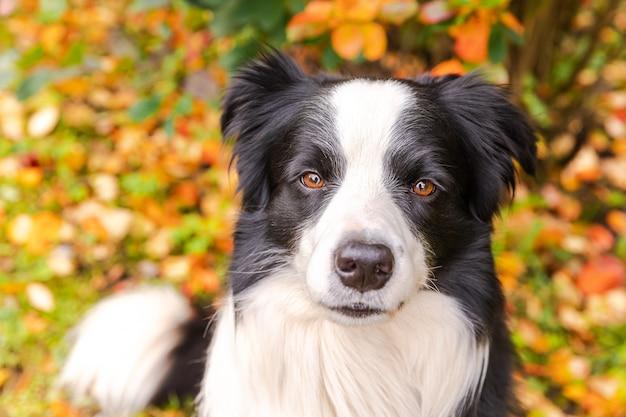 Grappige lachende puppy hondje border collie zittend op herfst kleurrijke gebladerte achtergrond in park buiten doen...