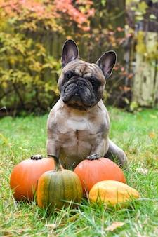Grappige lichte franse buldoghond en pompoen voor halloween