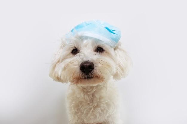 Grappige maltese hond die een beschermend gezichtsmasker op een verkeerde manier draagt.