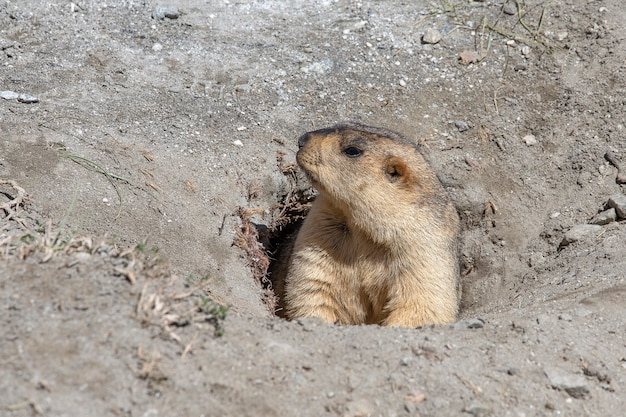 Grappige marmot die uit een hol gluurt in de himalaya-berg, ladakh-regio, india. natuur- en reisconcept