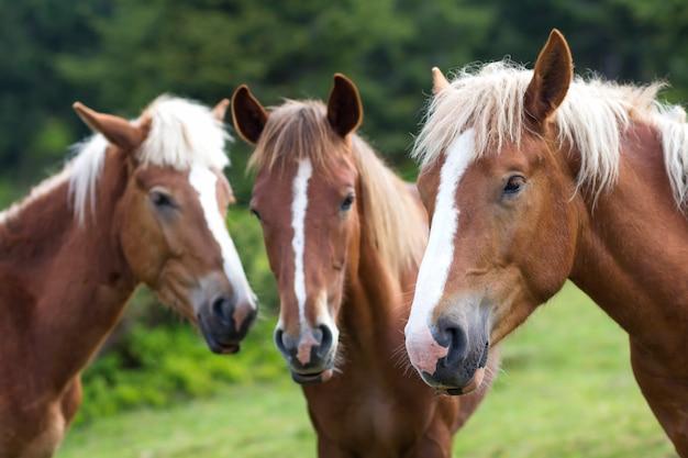 Grappige paardconferentie in zonnige de zomerweide. sluit schot van kastanje drie met witte strepen en lange manenkoppen dicht bij elkaar op vage groene bomenachtergrond. intelligentie- en loyaliteitsconcept.