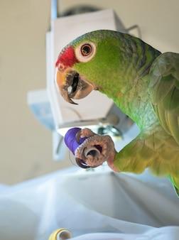 Grappige papegaai heeft een draadspoel en helpt bij het naaien.