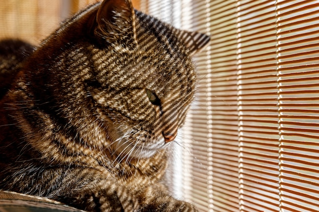 Grappige portret arrogante kortharige binnenlandse cyperse kat ontspannen in de buurt van jaloezieën thuis binnenshuis