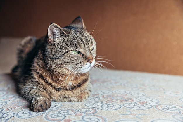 Grappige portret arrogante kortharige binnenlandse cyperse kat thuis binnenshuis ontspannen.