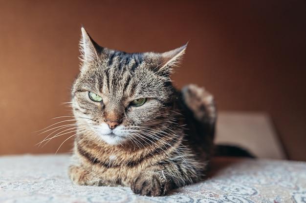 Grappige portret arrogante kortharige binnenlandse cyperse kat thuis binnenshuis ontspannen