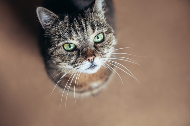 Grappige portret arrogante kortharige binnenlandse gestreepte katkat die thuis ontspannen