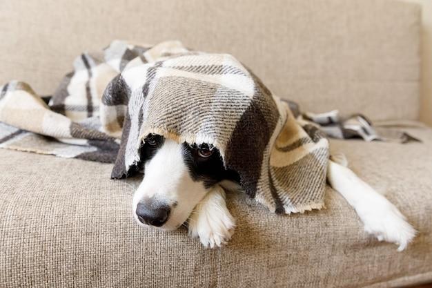 Grappige portret puppy hond border collie liggend op de bank onder plaid binnenshuis