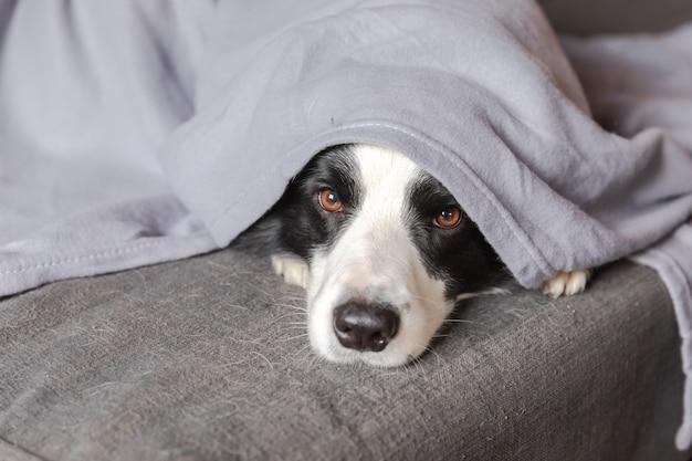 Grappige puppy hond border collie liggend op de bank onder plaid binnenshuis. kleine hond die thuis warm blijft en zich verbergt onder de deken in het koude herfstweer in de herfst. huisdier dierenleven hygge stemming concept.
