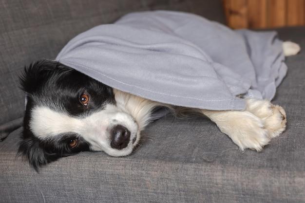 Grappige puppy hond border collie liggend op de bank onder plaid binnenshuis kleine hond thuis warm houden...