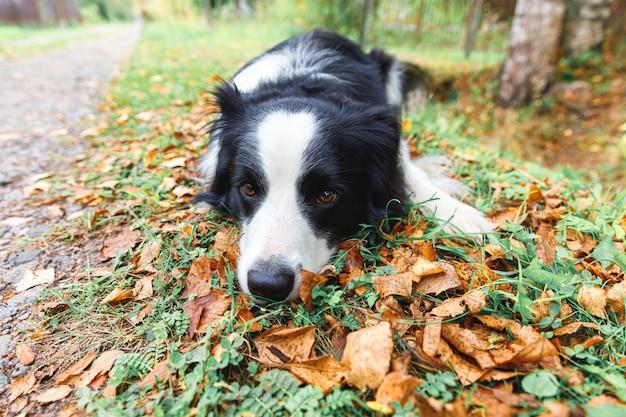 Grappige puppy hond border collie liggend op droog herfstblad in park buiten. hond snuift herfstbladeren op wandeling. hallo herfst koud weer concept.