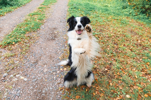 Grappige puppy hond border collie spelen springen op droge herfstbladeren in park buiten. hond snuift herfstbladeren op wandeling. hallo herfst koud weer concept.