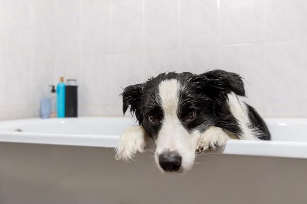 Grappige puppy hond border collie zittend in bad krijgt bubbelbad douchen met shampoo