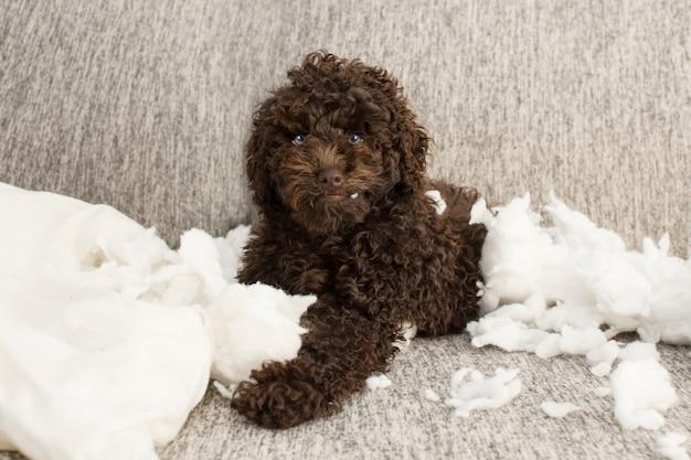 Grappige puppy kattenkwaad. poedelhond alleen thuis na een kussen bijten. ongehoorzaam concept.