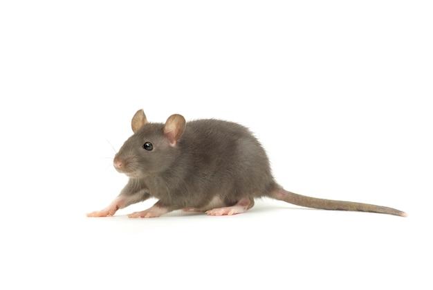 Grappige rat geïsoleerd op een witte achtergrond