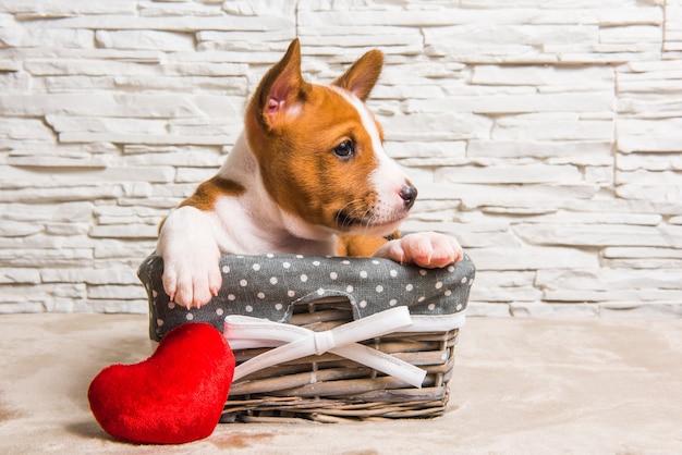 Grappige rode basenji-puppyhond in de mand met rood hart