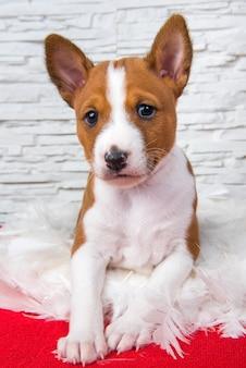 Grappige rode basenji-puppyhond zit in witte veren