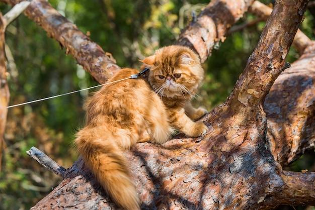 Grappige rode perzische kat klimmen en zitten op de boom Premium Foto