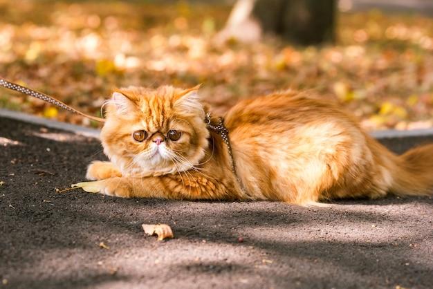 Grappige rode perzische kat met een leiband wandelen in de tuin.