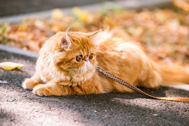 Grappige rode perzische kat met een riem die in de tuin loopt