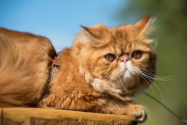 Grappige rode perzische kat met een riem die op het strand loopt