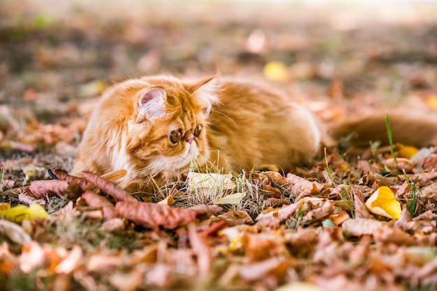 Grappige rode perzische kat op de herfstachtergrond met gevallen droge bladeren