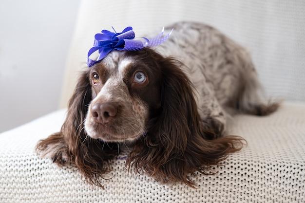 Grappige russische spanielchocolade merle verschillende kleuren ogen grappige hond die lintboog op hoofd draagt. geschenk. vakantie. fijne verjaardag. kerstmis.