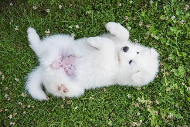 Grappige samojeed puppy hondje bovenaanzicht in de tuin