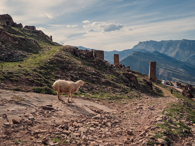Grappige schapen op de achtergrond van het verlaten dorp goor. een eenzaam schaap staart naar een groep toeristen. dagestan.
