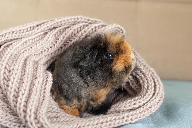 Grappige schattige cavia verstopt in een gebreide wollen sjaal