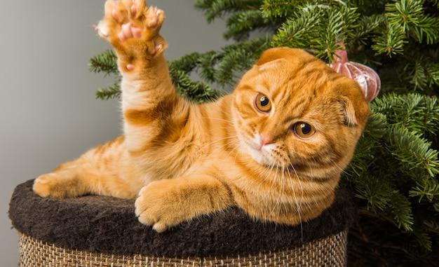 Grappige scottish fold rode kat speelt in de buurt van de kerstboom