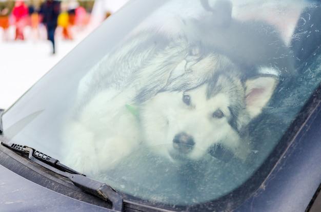 Grappige siberische husky-hond achter het vuile windscherm van auto.