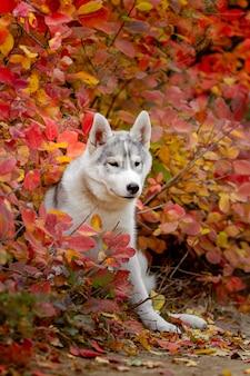 Grappige siberische husky liggend in de gele bladeren. kroon van gele herfstbladeren. hond op de achtergrond van de natuur.