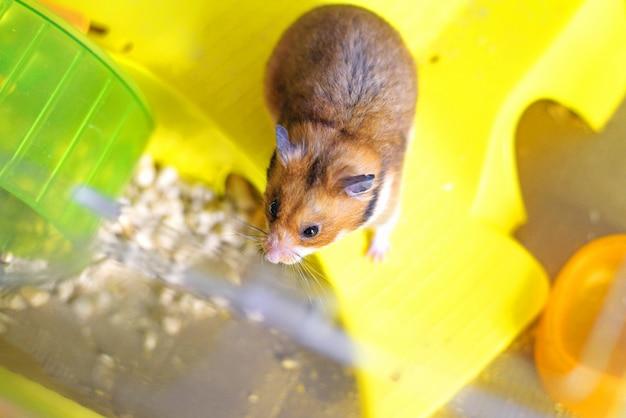 Grappige syrische hamster komt uit zijn kooi