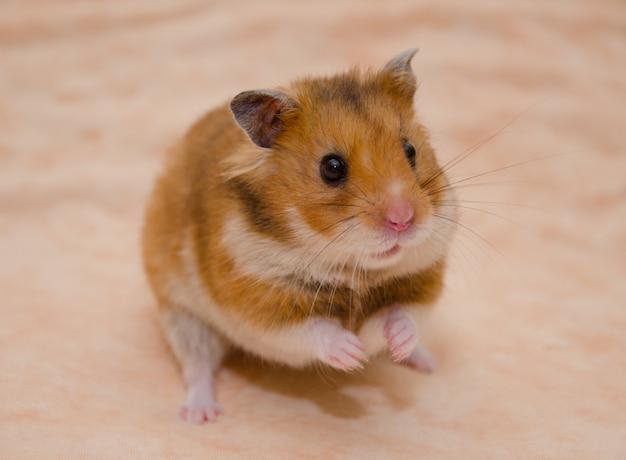 Grappige syrische hamsterzitting op zijn achterpoten, selectieve nadruk op de hamsterogen