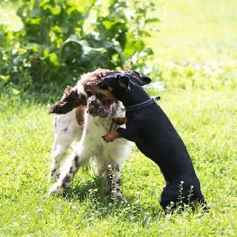 Grappige twee jonge honden spelen ruw in de zomer de natuur