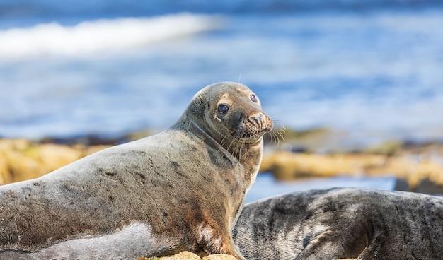 Grappige volwassen zeehonden op het strand van de noordzee bij bass rock in schotland. uk