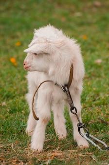 Grappige witte baby van geit op het groene gras