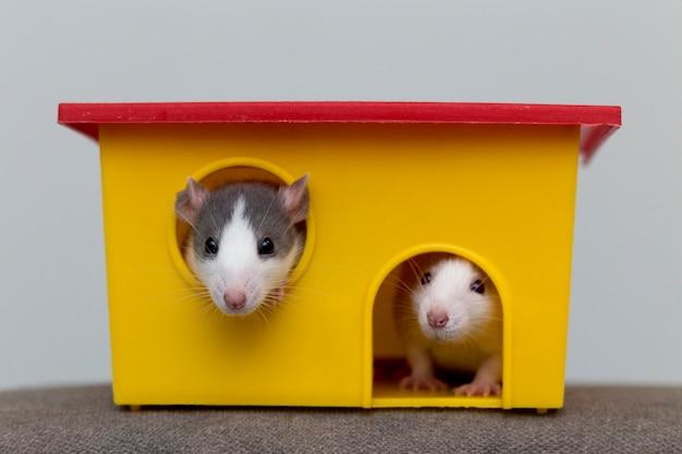 Grappige witte en grijze tamme nieuwsgierige muizenhamsters