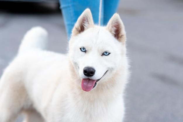 Grappige witte husky, naast de eigenaar. hoge kwaliteit foto