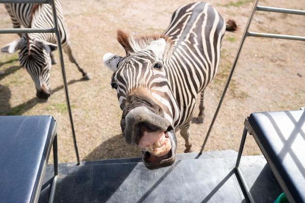 Grappige zebra die op het voeden bij de toeristenbus in de dierentuin wacht.