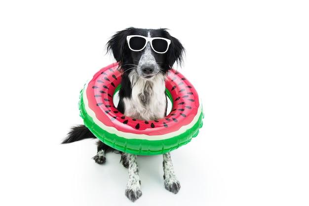 Grappige zomer border collie hond binnenkant van een opblaasbare watermeloen. geïsoleerd op wit oppervlak