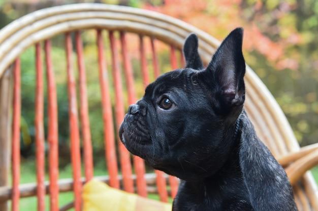 Grappige zwarte franse bulldog puppy hondje close-up op stoel op herfst achtergrond
